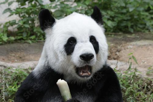 Fotobehang Panda Female Giant Panda , Lin Hui, Chiangmai Zoo, Thailand