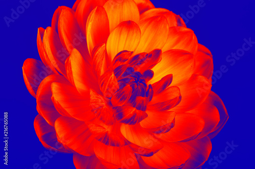 Wall mural Bright colorful dahlia