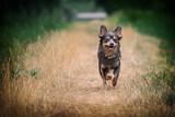 Portrait Hund Chihuahua rennt läuft in der Natur beim Spaziergang im Wald auf gras mit bäumen im Hintergrund