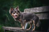 Portrait Hund Chihuahua steht sitzt auf Bank im Wald mit Bäumen und Sträuchern im Hintergrund in der Natur
