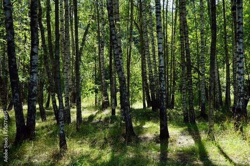 Plexiglas Berkenbos Birch trees