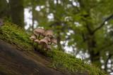 Helmlinge auf einem abgestorbenen Baum