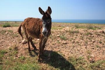 Esel auf einer kargen Wiese vor dem Meer © Andr