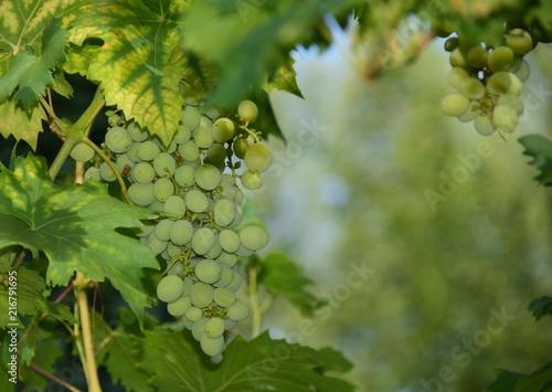 Foto Spatwand Wijngaard Weintrauben an einer Weinrebe im Hochsommer