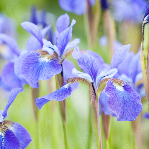 Canvas Iris beautiful blue irises blooming in the field