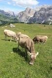 Bergpanorama in den Alpen mit Kühen auf grüner Wiesen vor blauem Himmel und weißen Wolken