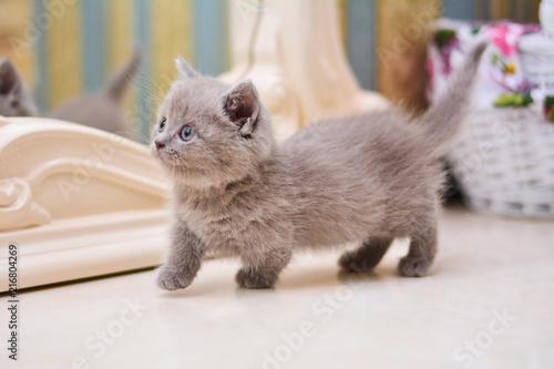 kitty cat munchkin fluffy, animal