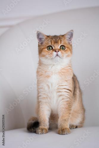 Foto Spatwand Kat kitten cat scottish straight, lop-eared fluffy, animal