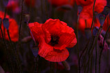Flowers Red poppies blossom on wild field. Beautiful field red poppies with selective focus. soft light. Toning. Creative processing in dark low key