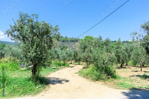Foto Spatwand Olijf Olive trees at Gemlik