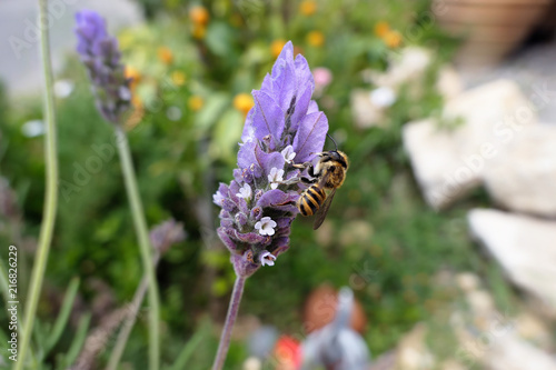 wild solitary bee looking for pollen and nectar on Spanish lavender flower