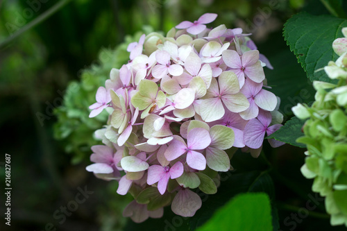 Foto Spatwand Hydrangea Branches of hydrangeas with blue and pink flowers.
