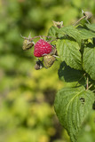 Red raspberry on a plant outside.
