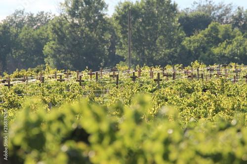 Canvas Pistache Vineyard
