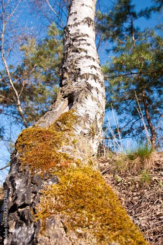 Foto Spatwand Berkenbos Birch with moss by jziprian