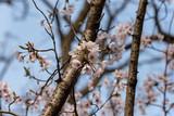 桜の花と枝 - 216838023