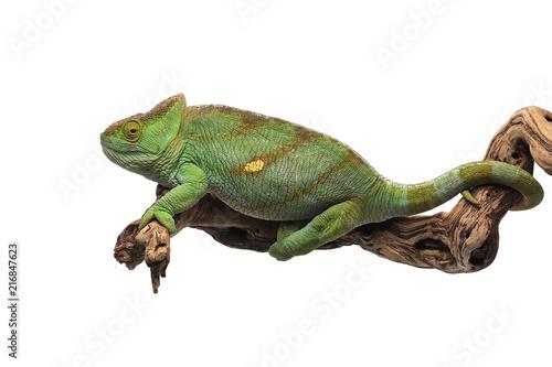 Kameleon duchowny na białym tle