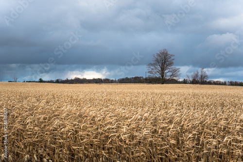 Foto Spatwand Canada Stormy Clouds Looming over a Corn Field in the Countryside of Ontario, Cnada, on a Windy Autumn Day