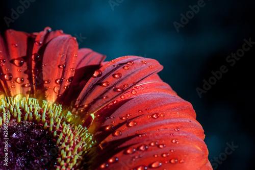 Foto Spatwand Gerbera Red gerbera flower.