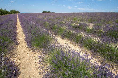 Canvas Lavendel Big lavender field