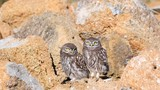 Two Young Little owl (Athene noctua) stands on a stone near his hole - 216867873