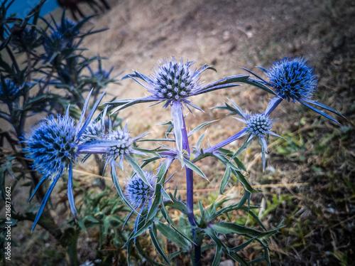 Leinwanddruck Bild fiori blu spinosi di alta montagna