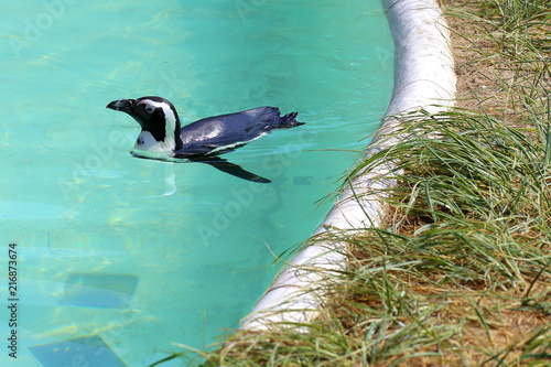 Canvas Pinguin Spectacled penguin swimming to the right away from the pool edge
