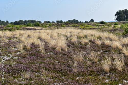 Foto Spatwand Blauwe hemel Heidelandschaft auf Insel Hiddensee