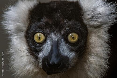 Poster Lêmur Preto e Branco / Black and White Ruffed Lemur (Varecia variegata)