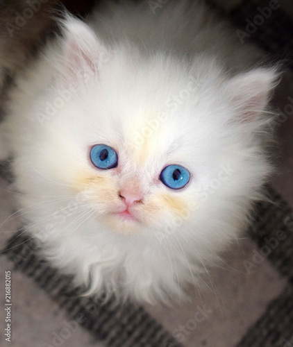 Blue-eyed little persian kitten