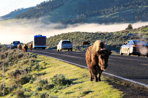 Canvas Bison Bison jams are common on the roads in Yellowstone National Park as these wild animals cross the street.