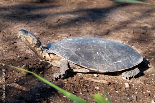 Foto Spatwand Schildpad tortuga soleando