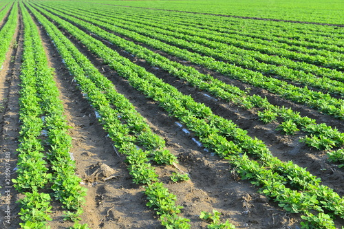 Foto Murales Peanuts in the field, lush growth