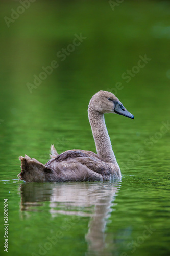 Baby Swan with a green background