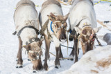 Beautiful reindeer in a harness at a winter camp in Siberia. - 216913674
