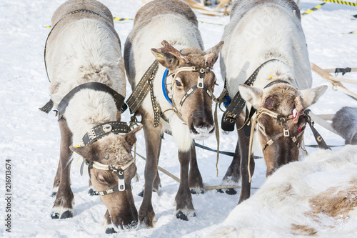 Canvas Hert Beautiful reindeer in a harness at a winter camp in Siberia.
