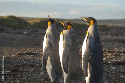 Canvas Pinguin Trois manchots roi ou empereur Terre de feu Baie Inutile (Chili)