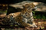 Jaguar ruht sich aus