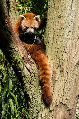 Fotobehang Panda Roter Panda rastet in einer Astgabel