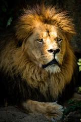 Majestätischer Löwe liegt im Schatten