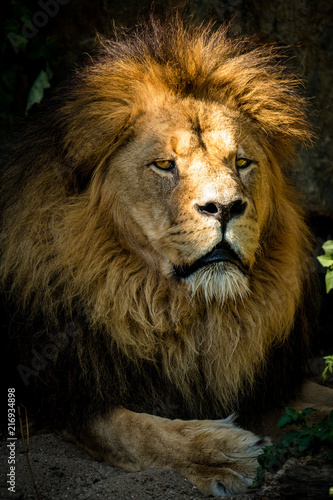 Foto Spatwand Lion Majestätischer Löwe liegt im Schatten