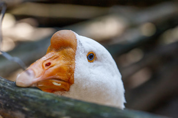 Portrait of white domestic goose bird on farm