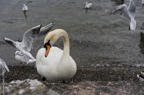 Fotobehang Zwaan swan close up on lake shore in winter with birds