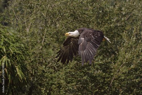 Canvas Eagle pygargue à tête blanche