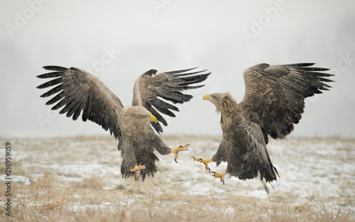 Canvas Eagle Aquile di mare