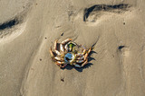 Remains of a dead crab left on sandy beach at low tide on hot summer day - 216959405