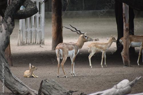 Canvas Hert variety of deers