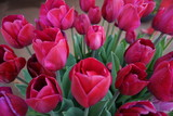 tulip, flower, spring, tulips, nature, garden, flowers, pink, purple, red, blossom, field, green, plant, beauty, floral, bloom, beautiful, petal, flora, color, bouquet, bright, park, season
