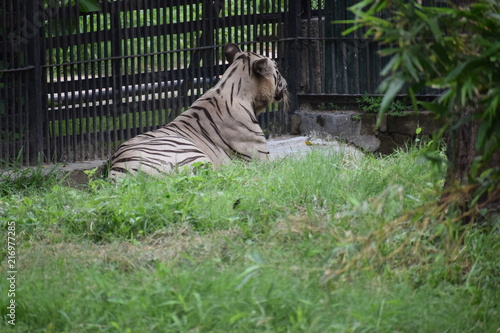 Canvas Tijger Royal Bengal White Tiger