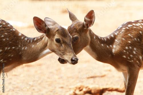 Canvas Hert axis deer